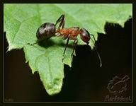 Как приготовить муравьиный спирт